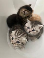 BKH Scotish Feld Kitten Reinrassig