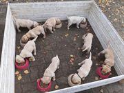 Labradorwelpen zu verkaufen