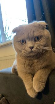 Scottish Fold Deckkater