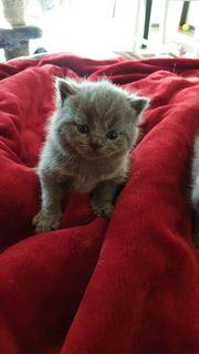 BKH blau Kätzchen