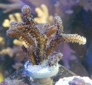 Meerwasser Seriatopora Caliendrum SPS Steinkoralle
