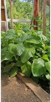 Tabak Pflanzen