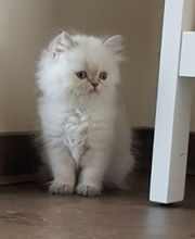 Zauberhafte Britisch Kurzhaar Point Kitten