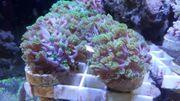 Korallen Meerwasser Alevopora Ableger