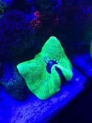 SUCHE Meerwasserfische Korallen und Co