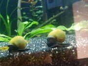 Gelb grüne Apfelschnecken