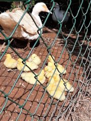 Erpel und Ente aus eigener