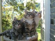 Sibirische Wald- Katzen Kitten