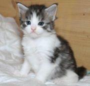 Wunderschöne Maine Coon Kätzchen verfügbar
