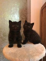 Reinrassige BKH Kitten Jungs