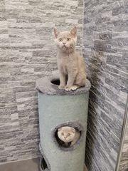 Kitten bkh reinrassig