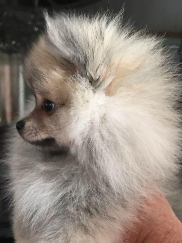 Pomeranian Zwerg Spitz Welpe
