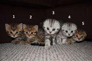 Abholbereit BKH Kitten Babys Kätzchen