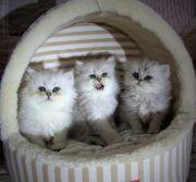 Superschöne Perser Babys aus Hobbyzucht