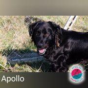 Apollo - wunderschöner Black Retriever Mix
