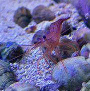Meerwasser Garnelen gegen Glasrosen zu