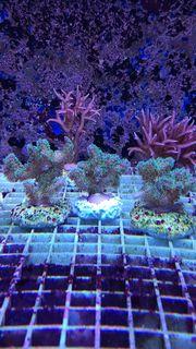 Meerwasser Korallen Korallenableger SPS Zoanthus