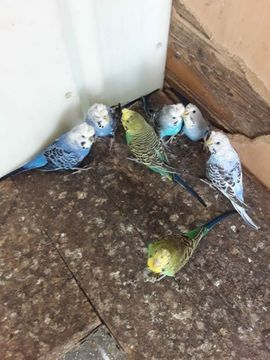 Junge Haubenwellensittiche: Kleinanzeigen aus St Julian - Rubrik Vögel