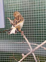 Kanarienvögel gescheckt