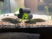 Axolotl Nachzuchten suchen bald ein