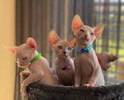 Wurfankündigung Can Sphynx Kitten mit