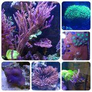 Korallen Meerwasser Ableger Anemone Clavularia