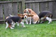 Registrierte Beagle-Welpen