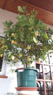 Verkaufe aus Platzgründen einige Zitrusbäume