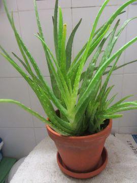Pflanzen - Strahlenarialie Aloe Vera Goldfeder Rankpflanze