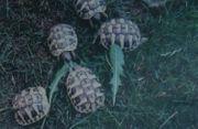 Nachwuchs Griechische Landschildkröten