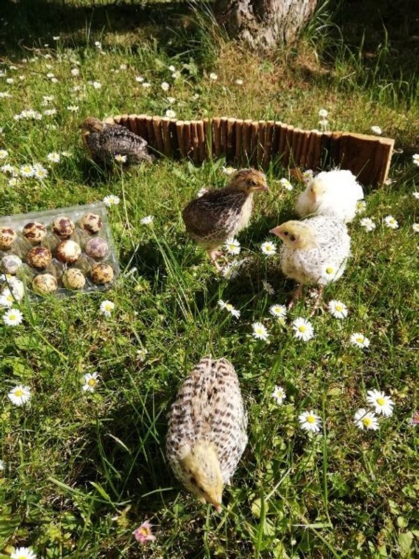 Wachtel Wachtelneier Bruteier Eier