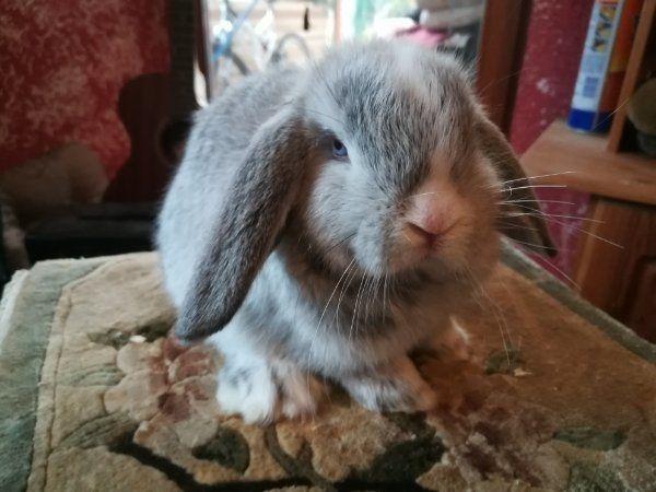 Original Minilop Kaninchen Babys