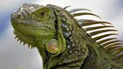 grüner Leguan Weibchen