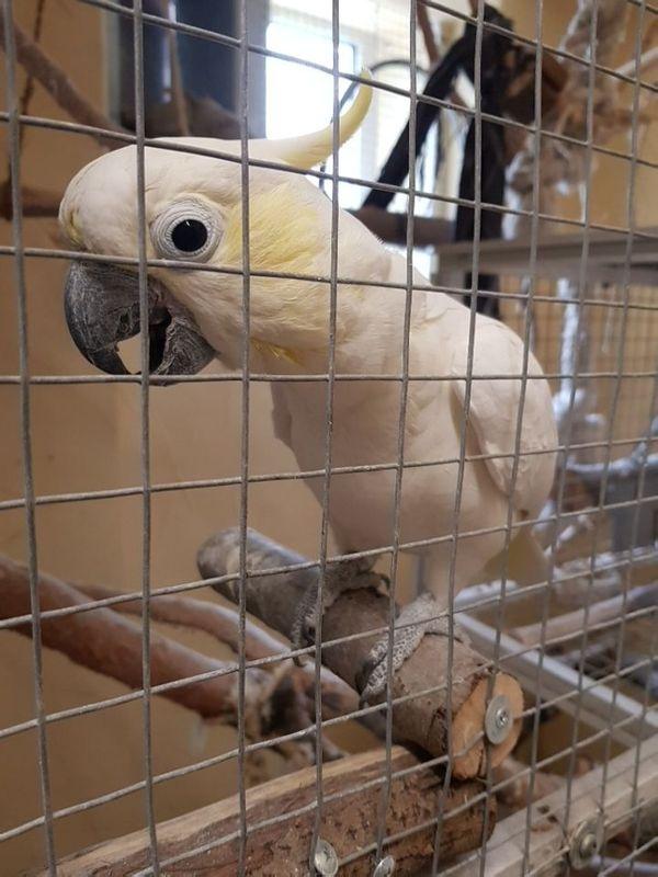 Kakadu Kleiner Gelbwangenkakadu 1 0