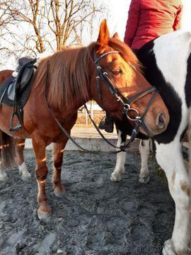 Suche Zweitreiterin: Kleinanzeigen aus Rankweil - Rubrik Pferde