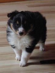 Sheltie Welpe - tricolor Hundin mit