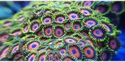 Korallen Meerwasser Ableger
