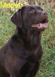 Liebevolle Labrador Boxer Hündin 1