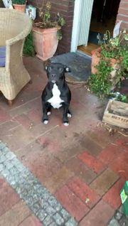 Boxer Mischling 7 Monate