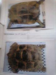 maurische landschildkröte weiblich abzugeben