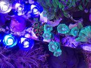 Korallen Caulastrea