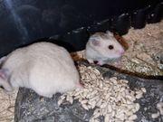 Goldhamster 5 Wochen alt