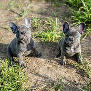 Französische Bulldoggen Welpen sind bereit