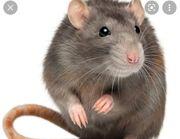 Nehme Ratten kostenlos auf