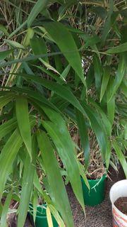 Bambus Pflanze Pseudosasa japonica 7