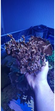 Montipora Acropora Korallenableger Meerwasser Sps