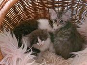 Norwegische Waldkatze- Perser Mix Kitten