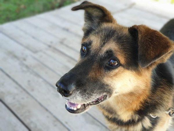 TIMON Deutscher Schäferhund Mischling - will