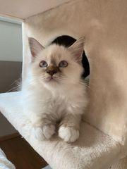 Heilige Birma Kitten vom Züchter