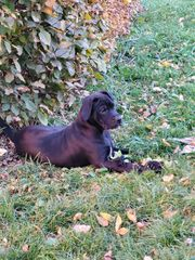 Dogo Canario Welpe ähnlich Cane